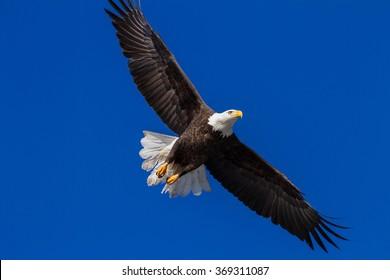 Adult american bald eagle flying over Lake Coeur d' Alene, Idaho. 2015