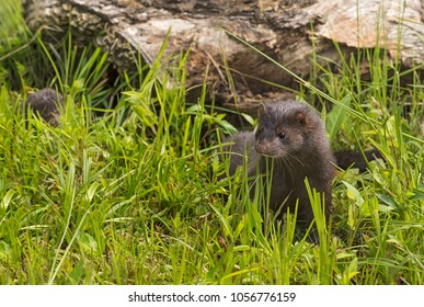 Adult American Mink (Neovison vison) Pops Up From Grass - captive animals