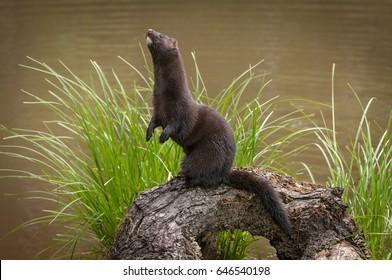 Adult American Mink (Neovison vison) Stands Up on Log - captive animal