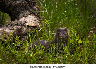 Adult American Mink (Neovison vison) Looks Out from Grass - captive animal