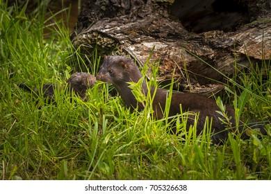 Adult American Mink (Neovison vison) and Kit -captive animals