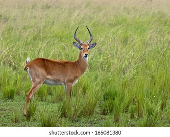 Adult antelope standing in profile