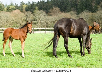 An adult Arabian horse with his foal