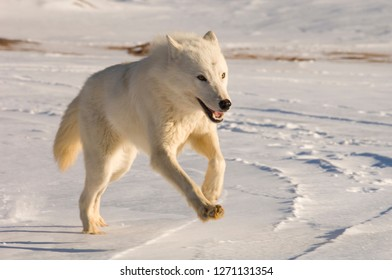 Adult Artic Wolf