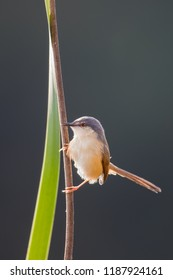 An adult Ashy Prinia (Prinia socialis) also known as Ashy Wren-warbler, perched on a reed stem against a blurred  background, Gujarat, India
