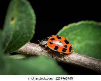 An adult Asian ladybeetle (Harmonia axyridis, Coccinellidae) sitting on a small twig