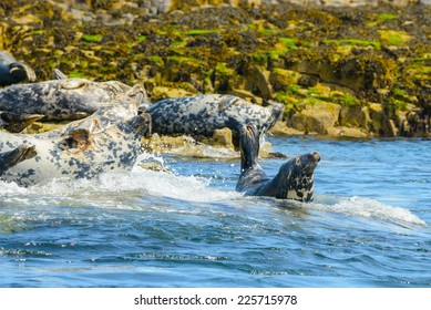 Adult Atlantic Gray (Grey) Seal (Halichoerus grypus,) in the surf a waves hit a rocky outcrop in the North Sea off the coast of Northern England. Horizontal format with copy space.