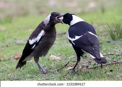 Adult Australian Magpie feeding fledgling