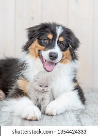 Adult australian shepherd dog embracing kitten at home