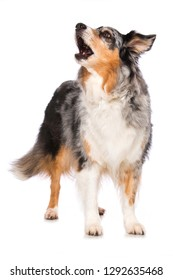 Adult australian shepherd dog standing isolated on white background