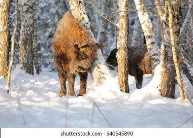 Adult and baby European bisons (Wisent, Bison bonasus) in winter forest. National park Ugra, Kaluga region, Russia. December, 2016
