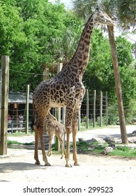 Adult and baby giraffe at Houston Zoo, Texas