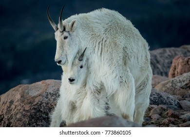 adult and baby mountain goat touching with dark background