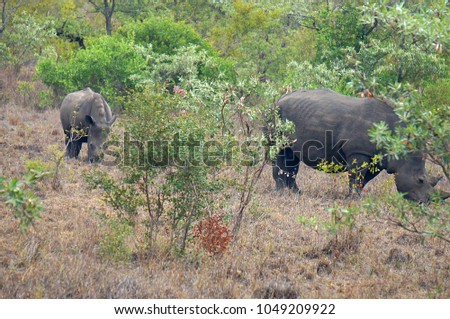 Adult and Baby Rhino at Kruger National Park in South Africa
