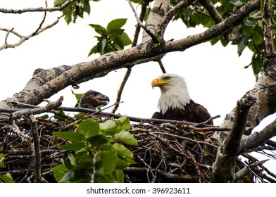Adult Bald Eagle and Chick in the nest