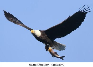 Adult Bald Eagle (haliaeetus leucocephalus) carrying a fish in flight against a blue sky