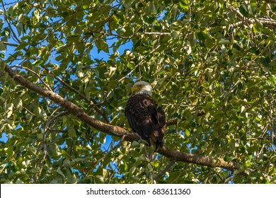 Adult bald eagle (Haliaeetus leucocephalus) perched on a branch in a black cottonwood tree (Populus trichocarpa) photographed in summer on Jetty Island in Puget Sound off Everett, Washington.