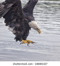 Adult bald eagle opens talons near the water.  Summer in Minnesota along the Mississippi River