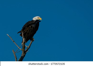 Adult Bald Eagle perched on a branch