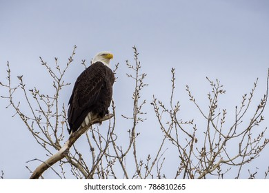 Adult Bald Eagle perched on top of a tree in Sacramento National Wildlife Refuge on a cloudy day, California