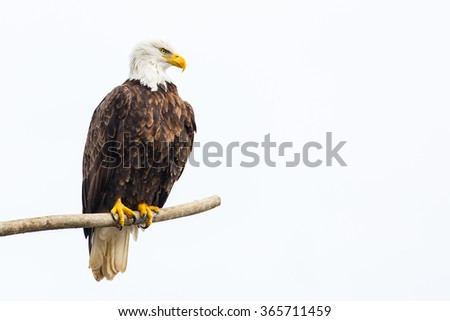 adult-bald-eagle-perched-on-450w-3657114