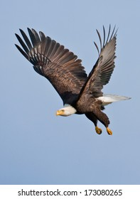 An adult bald eagle takes flight with powerful down-strokes and dangling legs.