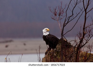 Adult bald eagle turns head with rapt attention on windy day along Chilkat River in Haines, Alaska