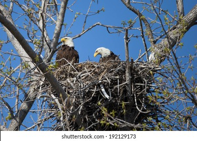 Adult Bald Eagles on Nest at Magee marsh