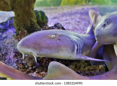 The adult of Bamboo Shark,brown-spotted Cat Shark (Chiloscyllium punctatum) in marine aquarium. It is in Hemiscylliidae Family. the Juveniles have the bands and occasionlly spots.