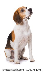 Adult beagle dog sitting isolated on white background and looking up
