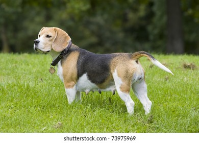 adult beagle female is standing in the green grass an is looking to others