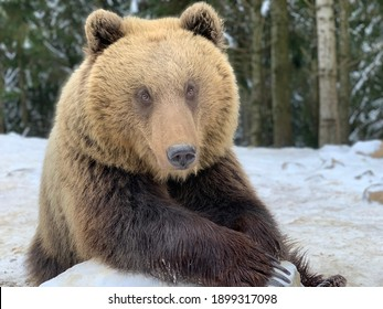 An adult bear in a snowy forest. Brown bear on the background of the winter forest. Rehabilitation center for brown bears. Synevyr National Park.