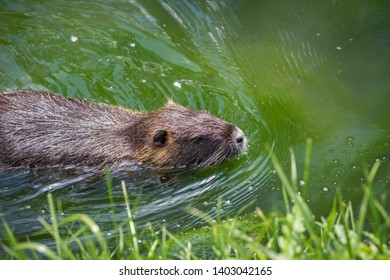 Adult beaver eating a plant. Beaver in a lake. Beaver in water in the evening.