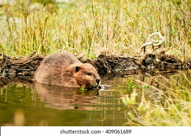 Adult beaver eating plant on Isla Navarino, Patagonia, Chile. Beaver in lake. Close-up of Castor canadensis in water in evening. Huge rodent in its natural environment, still water surrounded by grass