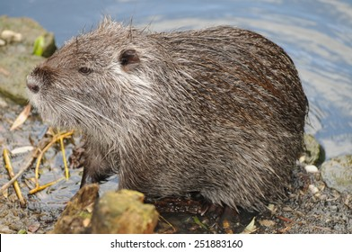 Adult beaver at the shore of a river in France.