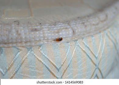 An adult bedbug clings to the edge of a mattress after the bed covers were removed to identify the cause of insect bites in a residential apartment building by a pest control technician.