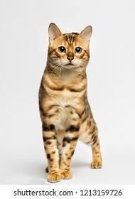 adult bengal cat looks