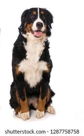 Adult bernese mountain dog sitting on white background
