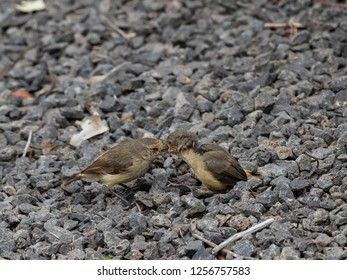 """Adult Bird feeding Fledgling.. sequence of six images. Buff-rumped Thornbill (Acanthiza reguloides) race """"australis"""""""