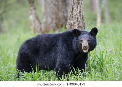 An adult black bear in Cades Cove Valley Great Smokey Mountains National Park in Tennessee