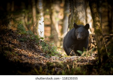 Adult black bear foraging in the forest in Cade's Cove, Great Smoky Mountains.
