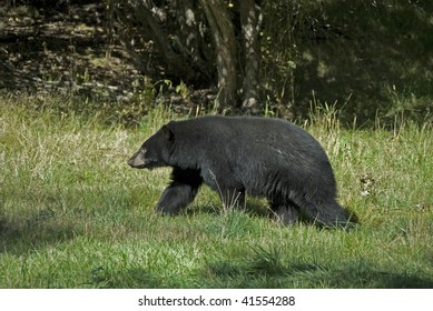 Adult black bear (Ursus americanus) in meadow. The difference between the black and grizzly bears is clear in the absence of shoulder hump and straight line of the face from the forehead to the nose.