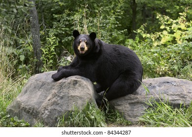 Adult black bear (Ursus Amricanus) takes a rest on rocks in the forest.