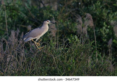 Adult black crowned night heron Nycticorax nycticorax perching on Salix trees