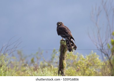 An adult Black Harrier (Circus maurus) perched on a fence post, against a blurred natural background, western cape, South Africa