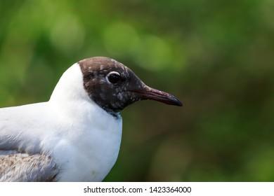 Adult black headed gull, close up portrait, Chroicocephalus ridibundus