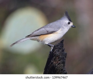An adult Black-crested Titmouse (Baeolophus atricristatus) on a woody perch in and amongst the scrub land in the Texas Hill Country