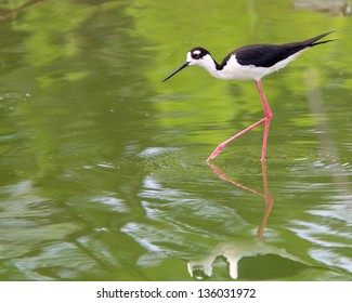 An adult Black-necked Stilt (Himantopus mexicanus), exploring a shallow wetland for food near San Antonio (Bexar County), in south Texas