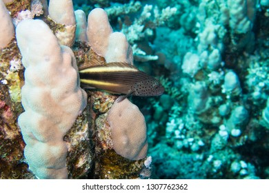 An adult black-sided hawkfish, freckled hawkfish or Forster's hawkfish (Paracirrhites forsteri) luring for bait on the hard corals of the reef in the Red Sea in Egypt