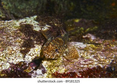 An adult Blenny well camouflaged among various types of marine flora and seaweed in the Mediterranean Sea in Malta